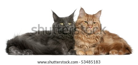 Two Maine coons, 15 months old, sitting in front of white background - stock photo
