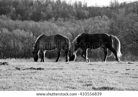 two majestic horses grazing on sunny summer pasture monochrome - stock photo