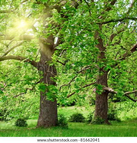 Two majestic plane trees on green summer glade and sunshine - stock photo