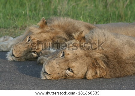 Two male African lions taking a catnap  - stock photo