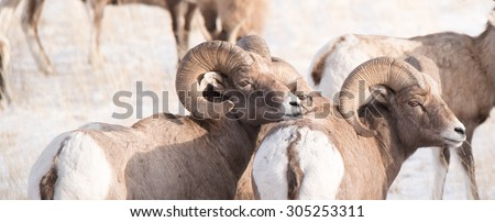 Two male big horn sheep (rams) facing right; looking the same way; full curl - stock photo