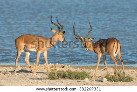 Two male black faced Impala at water's edge in Etosha National Park in Namibia - stock photo