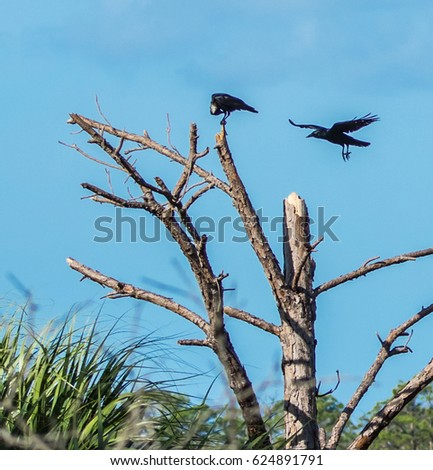 Boat-tailed Grackle Stock Images, Royalty-Free Images ...  Boat-tailed Gra...