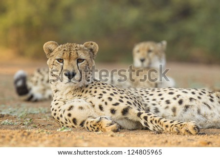 two male cheetahs take a rest (Acinonyx jubatus) in South Africa - stock photo
