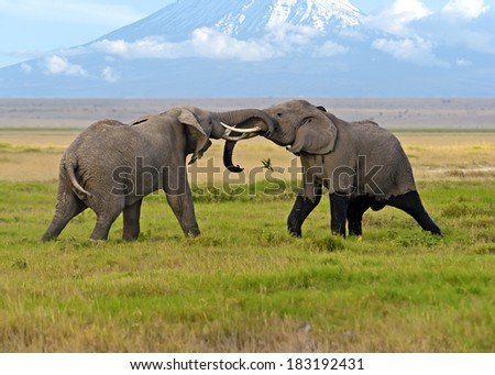 Two male elephant conflict in Amboseli Park - stock photo