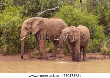 Two male elephants stop for a drink at the waterhole