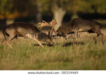 Two male fallow deer (Dama dama) fighting during rut in autumn, UK - stock photo