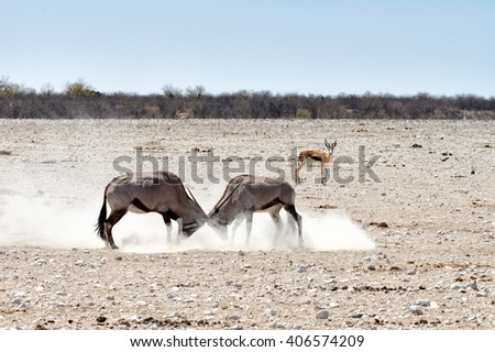 Two male gemsbok (Oryx gazella) fighting and kicking dust with a watching springbok in Namibia