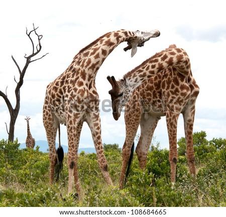 Two male Giraffes Necking - Ruaha National Park, Tanzania. - stock photo