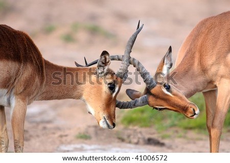 Two male impala antelope sparring over terrirtory