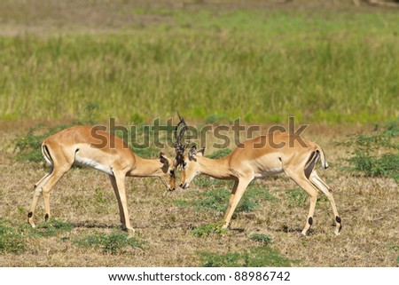 Two male impalas fight for dominance