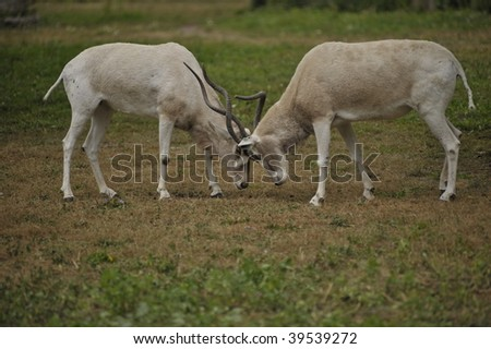 Two male Impalas fighting in the wild with their horns - stock photo