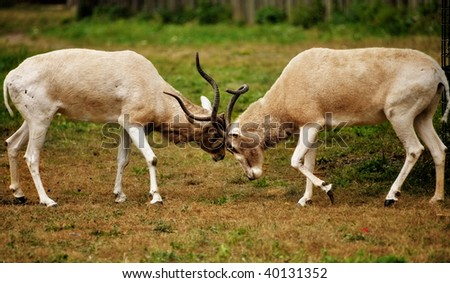 Two male Impalas fighting with their horns - stock photo