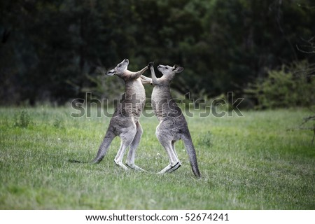 Two male Kangaroos are boxing - stock photo
