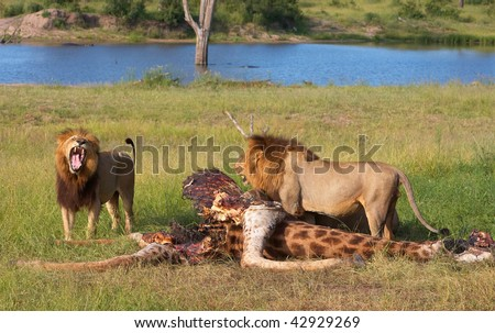 Two male lions (panthera leo) eating on giraffe carcass in savannah in South Africa