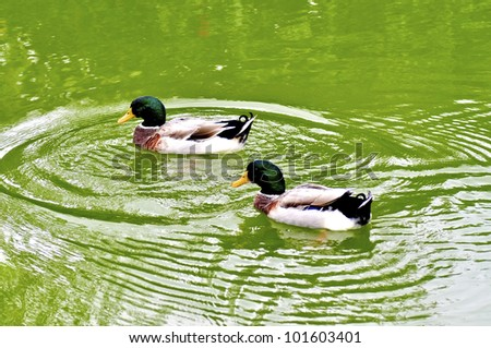 Two male mallard ducks on a green pond - stock photo