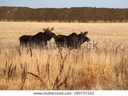 Two male moose running through field - stock photo