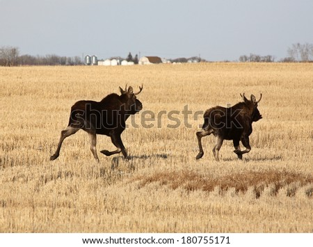 Two male moose running through stubble field - stock photo