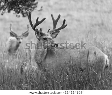 Two male mule deer graze in a grassy field. - stock photo