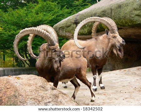 Two male Nubian Ibex (Capra ibex) in a zoo - stock photo
