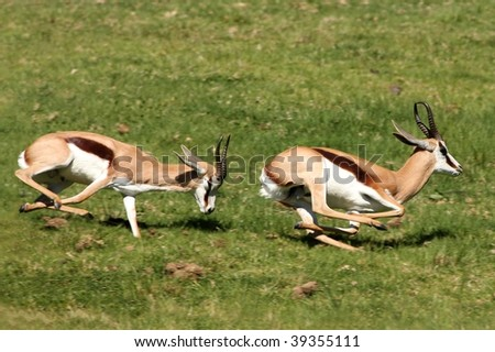 Two male springbuck antelope chasing each other to compete for females - stock photo