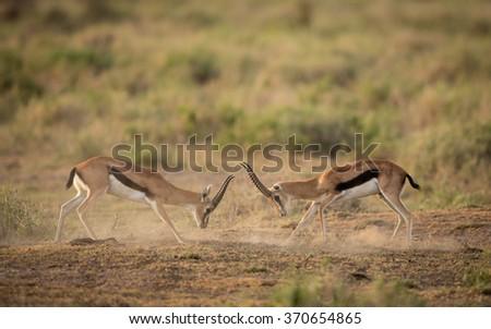 Two male Thompson Gazelle, fighting for dominance, Amboseli, Kenya - stock photo