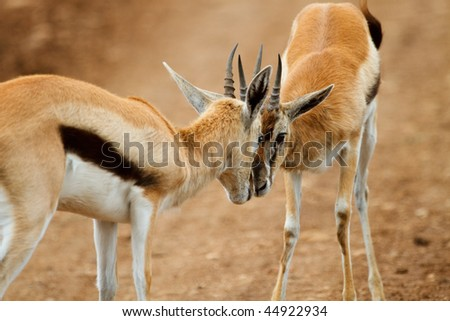Two male Thomsons gazelles fighting. Ngorongoro conservation area, Tanzania