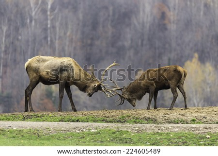 Two male wapiti fighting for domination - stock photo