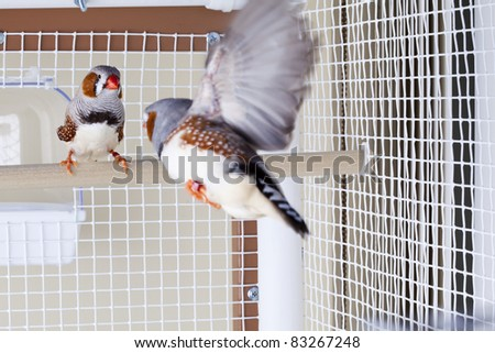 Two Male Zebra Finches One Flying