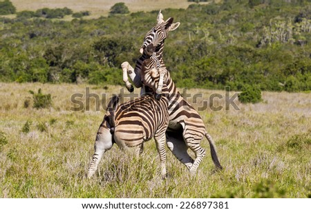 two male zebras playing and biting each other under the neck - stock photo
