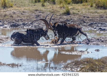 Two males Sable antelope (Hippotragus niger) fight for leadership of the herd in Chobe National Park - Botswana, South-West Africa - stock photo
