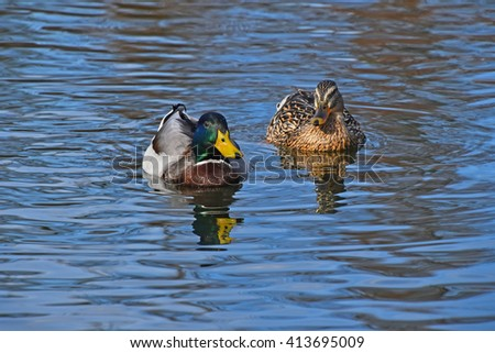 Two mallard ducks swimming in blue wavy lake water with ripples and reflection - stock photo