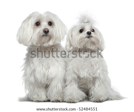 Two Maltese dogs, 6 and a half years old and 2 and a half years old, sitting in front of white background