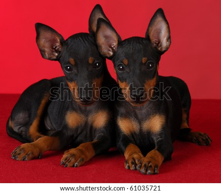 two manchester terrier puppies laying down on red background - stock photo