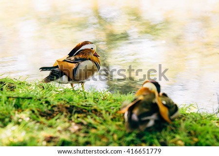 Two Mandarin Ducks in Potsdam San Souci Park