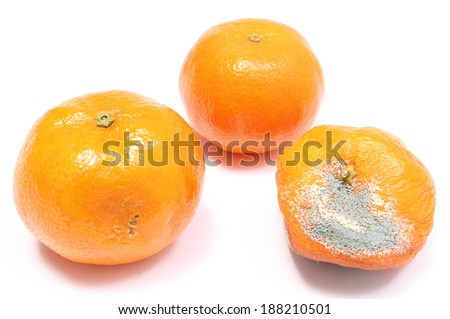 Two mandarins - fresh and moldy isolated on white background