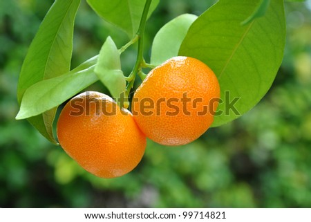 Two mandarins on tree branch with green leaves.