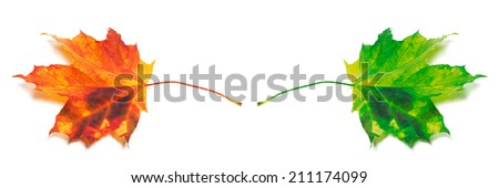 Two maple-leafs orange and green. Isolated on white background - stock photo