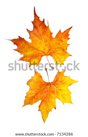Two maple leaves, isolated on white background - stock photo