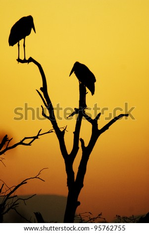 Two Marabou storks preparing for the night. Kruger National Park, South Africa - stock photo