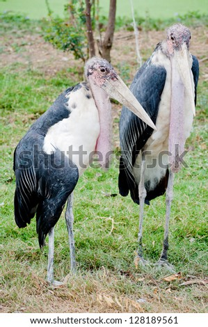 Two Marabou Storks standing on ground - stock photo