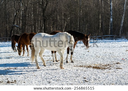 Two mares in the foreground walking on a ranch in the woods. Bright low winter sun casts long volumetric shadows on the snow - stock photo