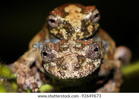 Two mating Neotropical Marbled Treefrogs (Dendropsophus marmoratus) in the Peruvian Amazon - stock photo