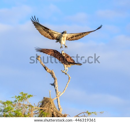 Two mating Osprey, wings spread, in flight, one landing, other perched on cypress branch