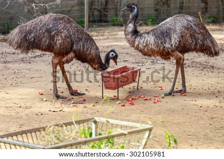 Two mature emu near a bird feeder - stock photo