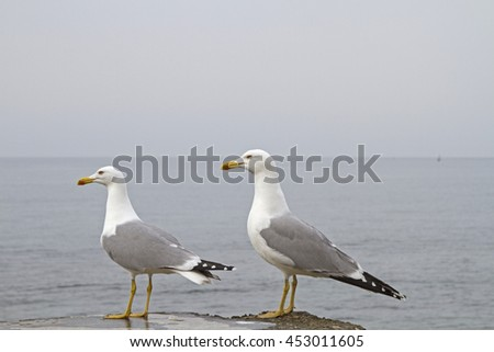 Two Mediterranean gulls on the shore of the Istrian coast - stock photo