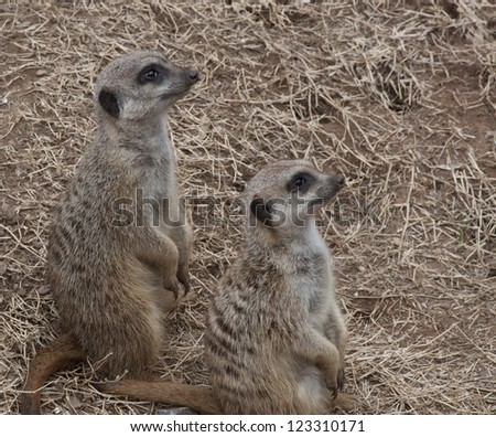 Two meerkats in the Oklahoma City zoo - stock photo