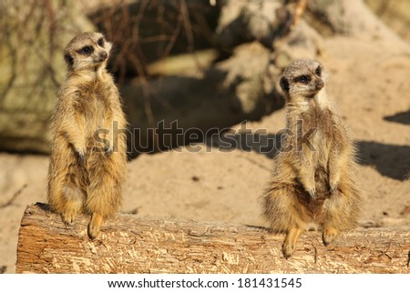 Two meerkats on a log looking very curious - stock photo
