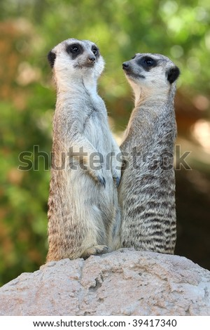 Two meerkats on guard duty on top of a rock - stock photo