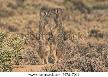 Two meerkats standing in the sun with noses pointing to eachother. The Little Karoo. Western Cape. South Africa. - stock photo